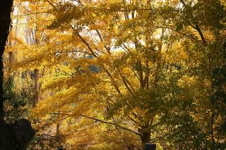autumn leaves turn golden
