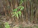 Haiku Bamboo