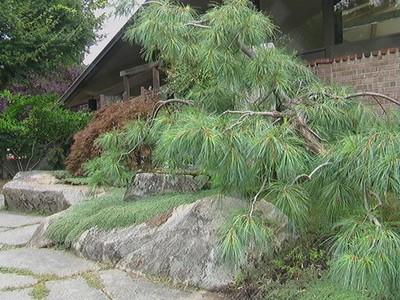 Haiku Pine