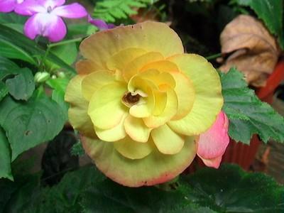 Begonia Chi